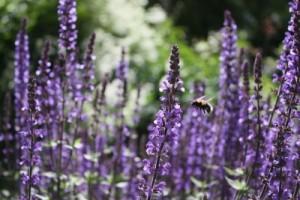 Lavendel får din have til at dufte
